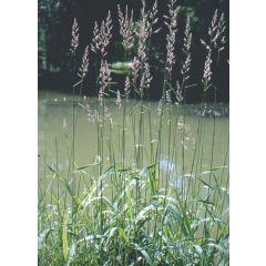 Pond Product - Phalaris arundinacea (Reed Canary Grass) - Pack of 3 Plug Plants