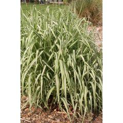 Pond Plant - Phalaris arundinacea 'Picta' (Gardener's Garters) - Pack of 3 Plug Plants