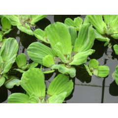 Pond Plant - Pistia stratiotes (Water Lettuce) - Pack of 3 Plants