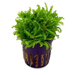 Tropical Aquarium Plant- Pogostemon Helferi (Pack of 3)