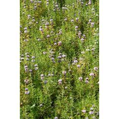 Pond Plant - Preslia cervina (Blue Water Spearmint) - Pack of 3 Plug Plants