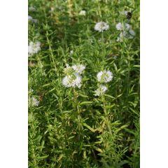 Pond Plant - Preslia cervine alba (White Water Spearmint) - Pack of 3 Plug Plants
