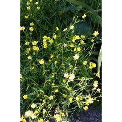 Pond Plant - Ranunculus flammula (Lesser Spearwort) - Pack of 3 Plug Plants
