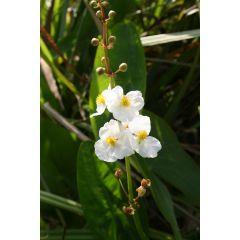 Pond Plant - Sagittaria latifolia (Duck Potato) - Pack of 3 Plug Plants