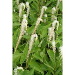 Pond Plant - Saururus cernuus (Lizard's Tail) - Pack of 3 Plug Plants