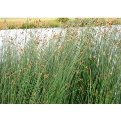 Pond Plant - Scirpus lacustris (Bulrush) - Pack of 3 Plug Plants