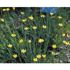 Pond Plant - Sisyrinchium californicum (Yellow Satin Flower) - Pack of 3 Plug Plants