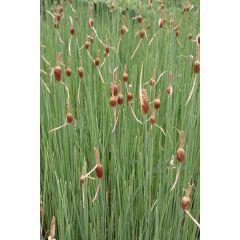 Pond Plant - Typha minima (Miniature Reed Mace) - Pack of 3 Plug Plants
