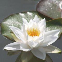 Flowering Waterlily (1L) - White