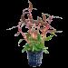 Tropical Aquarium Plant- Alternanthera Rosaefolia 'Mini' (Pack of 3)