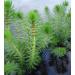 Pond Plant - Myriophyllum crispatum (Upright Water Milfoil) - Pack of 3 Plug Plants