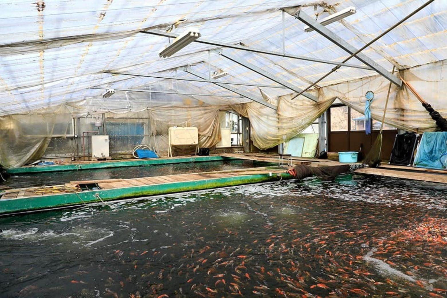 japanese indoor koi farm