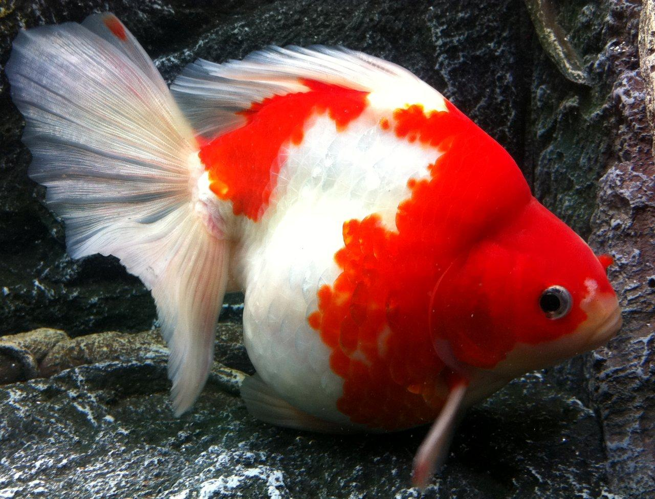 Keeping Coldwater Fish In Aquariums