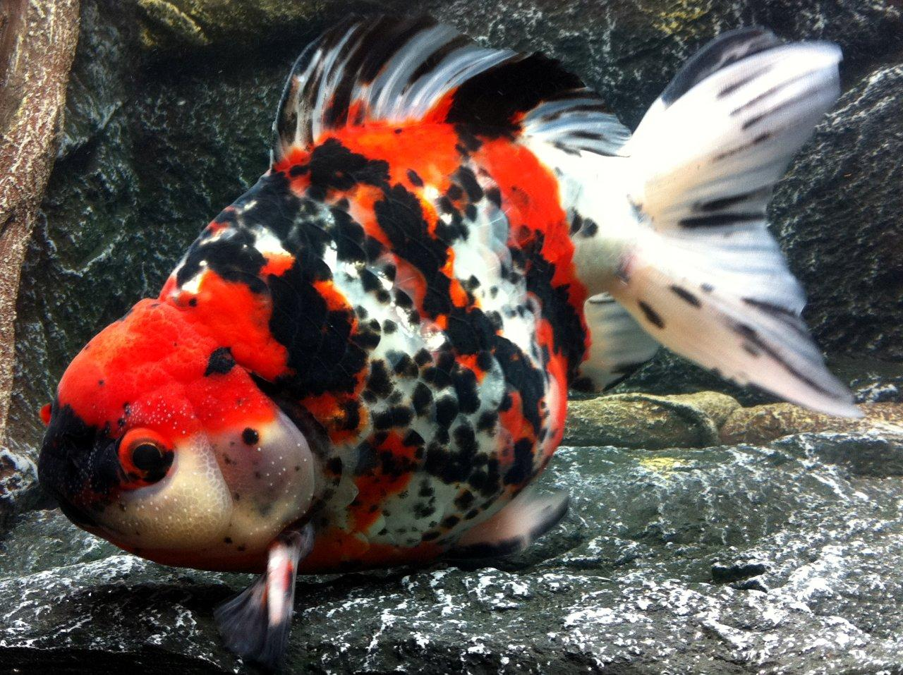 23b-red-black-white-oranda-18-cm.jpg&w=4